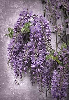 Wistful Wisteria by Jessica Jenney Art Print, 12 x 17 inc... https://smile.amazon.com/dp/B01N406YP0/ref=cm_sw_r_pi_dp_x_88lMyb5W78V10