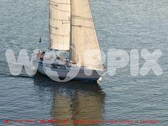 Swan sailing