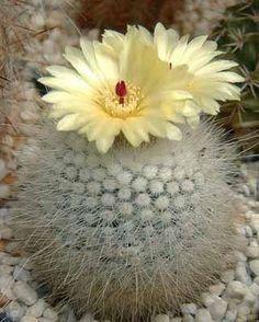 .Notocactus scopa