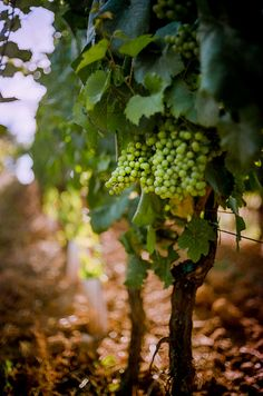 """lensblr-network: """" Grapes on the vine at Fattorio Poggio Alloro, Tuscany by hjl Wide open shot with the Shallow depth of field can be a little hit or miss with a rangefinder, but I was out for. Grapes And Cheese, Wine Vineyards, Purple Home, Italian Wine, In Vino Veritas, Wine Cellar, Wine Country, Raisin, White Wine"""