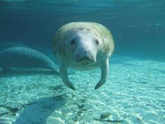 On Tuesday, the Endangered Species Coalition listed the West Indian manatee and the loggerhead sea turtle as two of the top 10 species most imperiled by the Trump Administration. Manatee Florida, Sea Cow, Crystal River, West Indian, Wildlife Conservation, Gentle Giant, Endangered Species, Endangered Fish, Sea Creatures