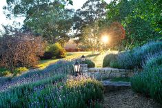 Early-morning light reveals a multicoloured palette. A property this size allows for generous mass plantings, including swathes of French lavender and rows of purple-leafed Prunus cerasifera 'Nigra' and Malus ionensis 'Rubra'. Rural Retreats, Old Trees, French Lavender, Australian Homes, Beautiful Gardens, Garden Design, Country Roads, Backyard, Victoria