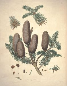 A description of the genus Pinus :. London :J. White,1803-1824.. biodiversitylibrary.org/page/30944638
