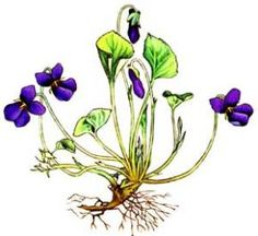 People would be surprised to discover how useful the wild sweet violet is in addition to being the most beautiful flower there is.