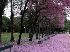 PORTO ALEGRE- Redenção- Ipês Rosa. Incrível e lindo !