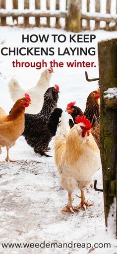 How to Keep Chickens Laying Through Winter || Weed 'Em and Reap #urbanchickens