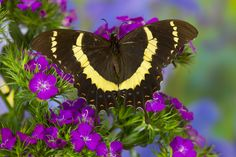 Tropical Butterfly, Papilio garamas, from El Salvador photograph by:  Darrell Gulin