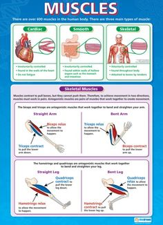 From our Physical Education poster range, How Muscles Work Poster is a great educational resource that helps improve understanding and reinforce learning. Gcse Science, Science Biology, Teaching Science, Biology Lessons, Science Lessons, Muscular System, Human Anatomy And Physiology, Nursing Tips, School Posters