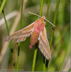 Elephant Hawk-moth Uk Moths, Moth Species, Hawk Moth, Darning, Tapestries, Natural World, Refashion, Butterflies, Insects
