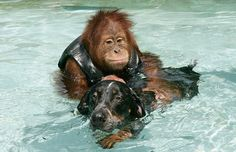 After losing his parents, this 3 year old orangutan was so depressed he wouldn't eat and didn't respond to any medical treatments. The veteranarians thought he would surely die from sadness. The zoo keepers found an old sick dog on the grounds in the park at the zoo where the orangutan lived and took the dog to the animal treatment center. The dog arrived at the same time the orangutan was there being treated. The 2 lost souls met and have been inseparable ever since.