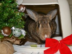 FRUIT CAKE is a very shy, but very sweet rabbit looking for a home. Please consider adopting her. She's been at the ARL for over a year and a half! #bunny #rabbit #pets #animals #adopt