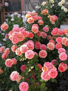 'Brass Band' Roses ~ one of Oprah's choices in her Rose Garden!