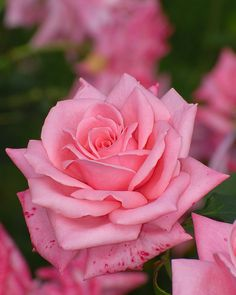 339 best red pink roses images on pinterest beautiful flowers pink roses mightylinksfo