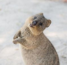 30 Funny Quokka Pictures That Will Make You Book a Flight to Australia to See Them - Happy Animals, Nature Animals, Cute Baby Animals, Animals And Pets, Funny Animals, Exotic Animals, Amazing Animals, Animals Beautiful, Australian Animals
