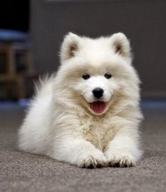 Samoyed Puppies are among the Top 5 Cutest Puppy Breeds :)