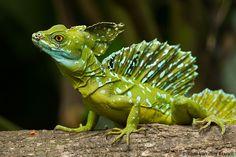 Jesus Christ lizard male by Tom van den Brandt, via 500px