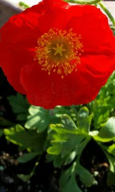 Poppy - beautiful red color