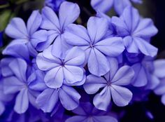 Blue Flox Flowers...