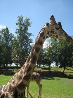 Giraffe allo zoo punta verde lignano