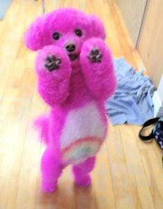 A tame and captive Care Bear? Or a cuteness cute Poodle dog. You decide. Poodle Hair, Pink Poodle, Poodle Grooming, Cat Grooming, Cute Puppies, Cute Dogs, Teacup Puppies For Sale, Poodle Puppies, Animals And Pets