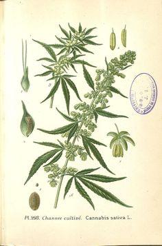 http://plantgenera.org/ILLUSTRATIONS_full_size/266807.jpg
