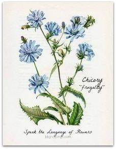 In the Language of Flowers, Chicory~ Cichorium intybus- frugality. Speak the Language of Flowers