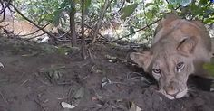 When They Noticed A Lion In The Bushes They Weren't Sure What To Do. Then They Realized He Needed Rescuing
