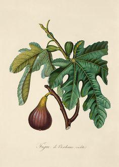 Image result for tucan botanical illustration