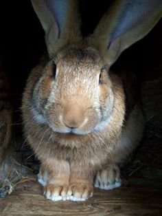 Dominic my sandy Flemish Giant buck.  My future pet!  Can't wait to pick one out!!!!