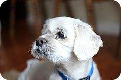 Pictures of Andy a Shih Tzu Mix for adoption in Long Beach, NY who needs a loving home.