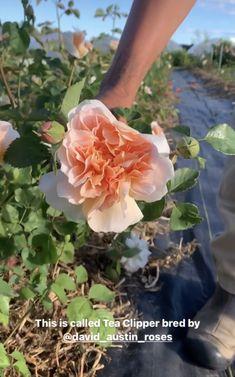 David Austin Roses, Secret Gardens, Plants, Plant, Planets