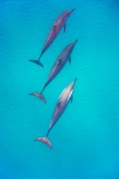 Off the Kona Coast dolphins roam the water. #Hawaii