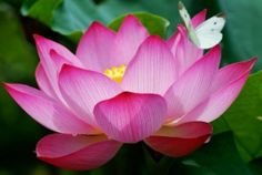 In the olden days, Egyptians considered lotus a sacred flower and used them in burial rituals. The interesting thing about lotus is that even though it blooms in swamps and wetlands, it can lie dormant for years during times of drought and bloom again when water returns. The Egyptians looked at this as a symbol for resurrection.