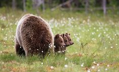 A Finnish high school health teacher's brown bear portraits scoop up wildlife photography awards. Comedy Wildlife Photography, Photography Awards, Cute Baby Animals, Animals And Pets, Funny Animals, Wild Animals, Cute Bear, Bear Cubs, Bears