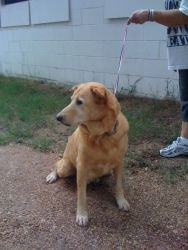 """No longer available. Conner is an adoptable Golden Retriever Dog in Pearland, TX. Victoria, TX: """"Conner"""" is a SENIOR yellow lab mix and has been in a boarding kennel for OVER 5 years. He is very sweet, loves treats and ..."""