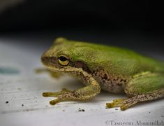 "The Squirrel Tree Frog, also known as a ""rain frog,"" calls during and after rain storms. Emitting a noise like a squirrel chattering, giving the frog its namesake. Listen for their calls across the coastal southeast. Photo by @tasneemphotography Forest Habitat, Bald Head Island, Rain Storm, Tree Frogs, Storms, Wildlife Photography, Habitats, Squirrel, Coastal"