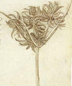 Sedge.jpg - Leonardo da Vinci - Italy