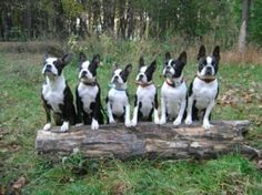 "Fantastic ""boston terrier puppies"" info is readily available on our web pages. Check it out and you will not be sorry you did. Boston Terriers, Boston Terrier Love, Terrier Puppies, Cute Puppies, Cute Dogs, Dogs And Puppies, Doggies, Funny Animals, Cute Animals"