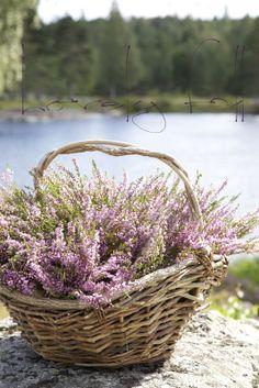 Lavender in a basket Lavender Blue, Lavender Fields, Lilac, Lavander, Lavender Flowers, Love Flowers, Beautiful Flowers, Jolie Photo, Flower Basket