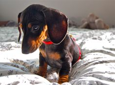 My dog. Miniature Dachshund. Eleanor.