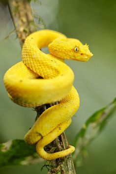 Yellow eyelash pit viper (Bothriechis schlegelii) Yellow Things a yellow snake Animals Images, Zoo Animals, Cute Animals, Yellow Animals, Prey Animals, Animals Planet, Les Reptiles, Reptiles And Amphibians, Mammals
