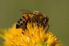 Nebraska state insect.  Honey bee.