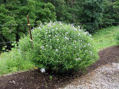 A di… Amsonia tabernaemontana: come stelle in giardino, magnifici fiori azzurri e fogliame lussureggiante