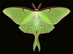The luna moth (Actias luna) is the largest moths in North America. It has a wingspan up to 114 mm.