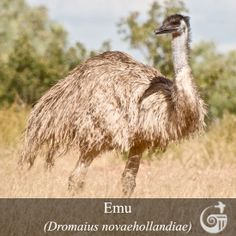 Featured Bird Species | Emu (Dromaius novaehollandiae)