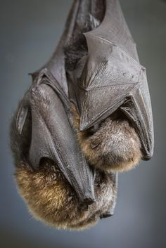 """A mother bat can locate her pup by its scent and sound out of millions in a roost. - photo by Bob Worthington"""" Animals Of The World, Animals And Pets, Baby Animals, Cute Animals, Beautiful Creatures, Animals Beautiful, Bat Species, Bat Flying, Baby Bats"""