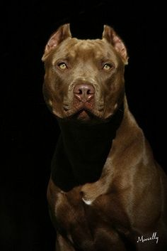 Breath taking....a Chocolate Pitbull stunning, handsome, and intelligent.
