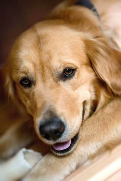 Closeup of a beautiful #GoldenRetriever...  Click on this image to find even more beautiful pinable pictures