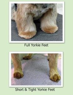 Pet Grooming: The Good, The Bad, & The Furry: Tuesday's Tip 21 Trimming Feet I need to remember full Yorkie feet! Dog Grooming Styles, Dog Grooming Tips, Grooming Salon, Yorkies, Maltipoo Puppies, Puppies Puppies, Yorkie Puppy, Teacup Puppies, Terrier Puppies