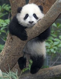 Panda! 中国 2012年 #china #panda